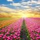 Черновцы+долина тюльпанов  19-21 апреля